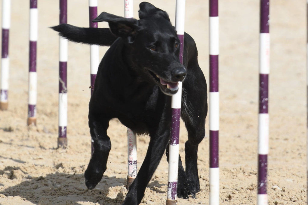Capital Comets Dog Sports to show off their skills at Esquimalt Buccaneer Days - Victoria News