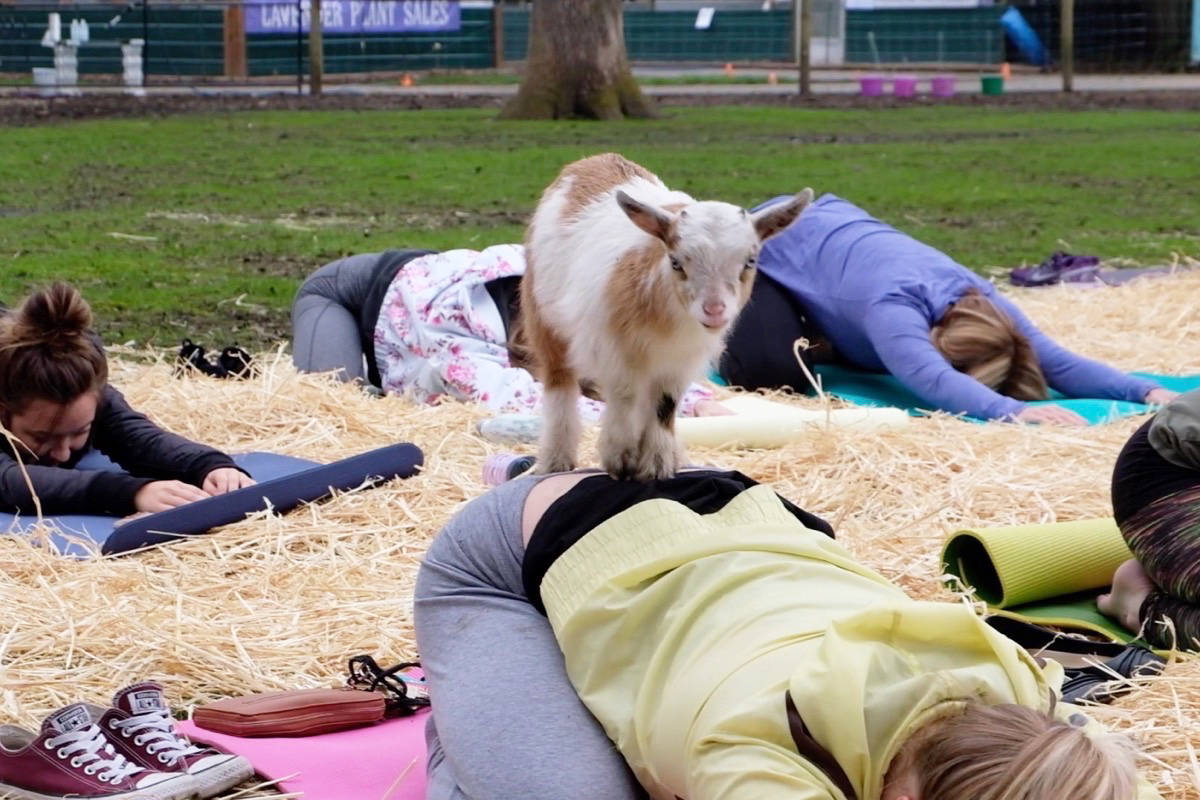Lavender Farm Brings Back Goat Yoga With Extra Cuddles Victoria News