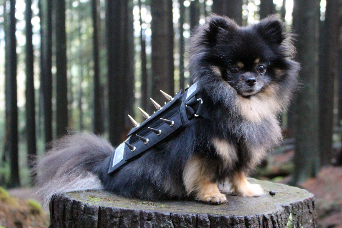 Spiky armour helps protect pooches from larger animals