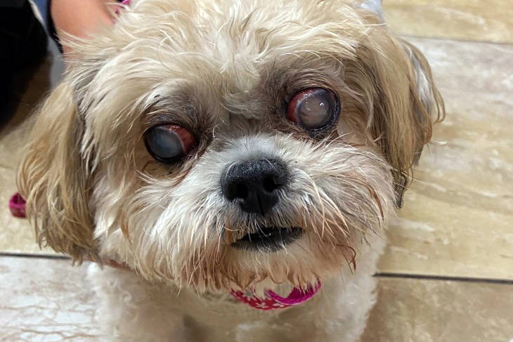 Blind Dog Surrendered In Cruelty Investigation Needs Care In Nanaimo Victoria News