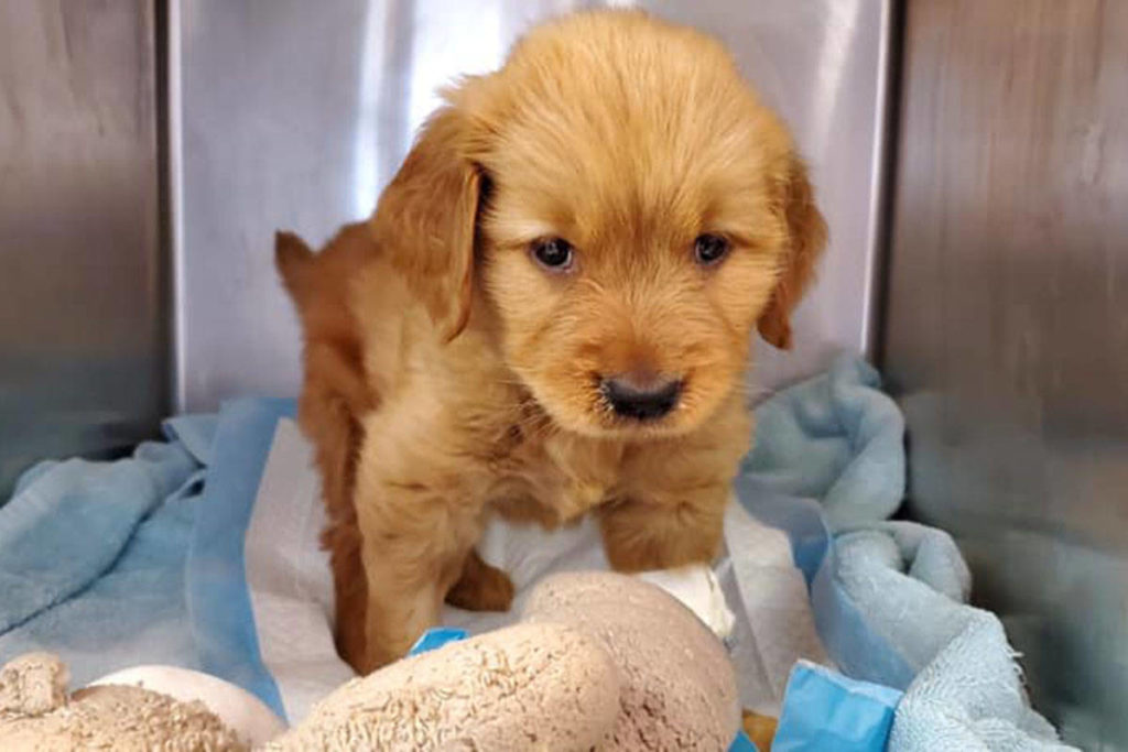 Victoria Humane Society rallies to save sick Golden Retriever Puppy For Sale